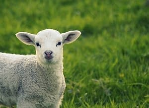 Blessed are the meek - lamb