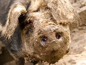 Sweat like a pig - in mud